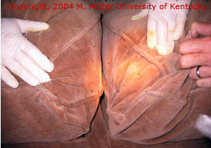 Bed Bug in Couch Cushions, Copyright 2004 M. Potter University of Kentucky