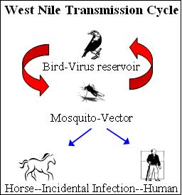 WNV transmission cycle 2