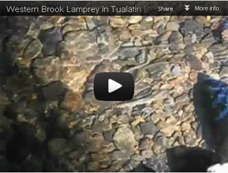 Lamprey Video